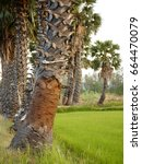 sugar palm trees in the field   Shutterstock . vector #664470079