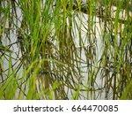 rice fields in rainy season   Shutterstock . vector #664470085