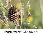 a macro of a field wasp... | Shutterstock . vector #664507771