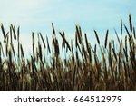 ripe wheat in the field under... | Shutterstock . vector #664512979