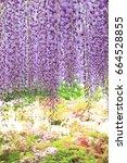 purple wisteria at ashikaga...   Shutterstock . vector #664528855