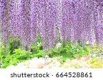 purple wisteria at ashikaga...   Shutterstock . vector #664528861
