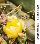 Small photo of Black and white striped bee Amegilla flying towards a yellow flower of cactus with long sharp spikes