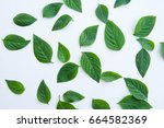 green leaf of plant on white... | Shutterstock . vector #664582369