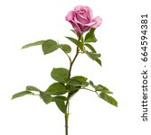 beautiful flower of rose ... | Shutterstock . vector #664594381