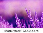 lavender flowers   sunset over... | Shutterstock . vector #664616575