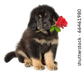 isolated dog. cute black puppy... | Shutterstock . vector #66461980