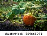 Pumpkin In Green Leaves