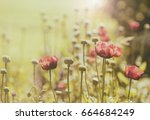 vintage style processed poppy... | Shutterstock . vector #664684249