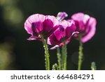 Group Of Purple Poppy Flowers ...