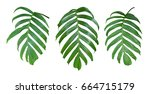 Monstera Plant Leaves  The...