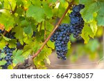 Grape Wineyard In Paarl  South...