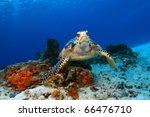 Hawksbill Turtle  Eretmochelys...