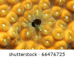 Small photo of Secretary Blenny ( Acanthemblemaria maria) peering out from coral reef in Bonaire Netherlands Antilles