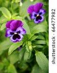 Colorful Viola