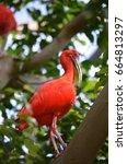 scarlet ibis | Shutterstock . vector #664813297