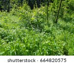 sunny forest in the summer in... | Shutterstock . vector #664820575