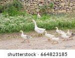 goose family walking on village ... | Shutterstock . vector #664823185