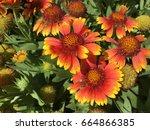 Firewheel Sundance Flower