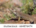 an ocellated lizard  timon... | Shutterstock . vector #664876474