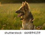 german shepherd in golden field ... | Shutterstock . vector #664894159
