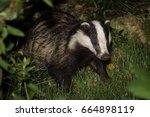 european badger  meles meles ... | Shutterstock . vector #664898119