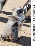 Small photo of Cute ugly bird. Disheveled penguin during moult (molt). Moulting feathers.