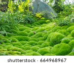 green moss  of the variety... | Shutterstock . vector #664968967