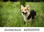 happy and active purebred welsh ... | Shutterstock . vector #665020555
