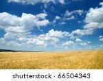 Summer Landscape. Yellow Wheat...
