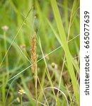 grass flower on blur background   Shutterstock . vector #665077639