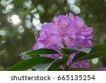 amazing rhododendron flowers.... | Shutterstock . vector #665135254