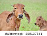 Cow And Calf Sleeping On Grass
