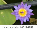 closeup bee looking for honey...   Shutterstock . vector #665174239