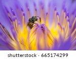 closeup bee looking for honey...   Shutterstock . vector #665174299