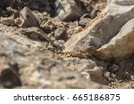 Small photo of Labyrinth spider hides between stones (Agelena labyrinthica)