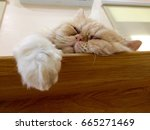 A Cute Persian Cat Is Sleeping...