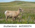 Female Bighorn And Baby Lamb