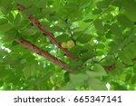 Small photo of twain star gooseberry