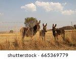 Three Donkeys Behind The Fence.