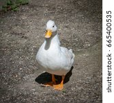 white call duck facing camera. | Shutterstock . vector #665400535