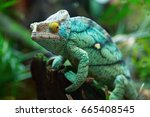 green chameleon on the green... | Shutterstock . vector #665408545