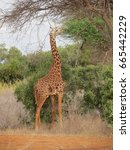 a giraffe eating from a tree in ... | Shutterstock . vector #665442229