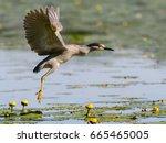 black crowned night heron...   Shutterstock . vector #665465005