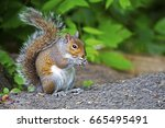 Eastern Gray Squirrel With...