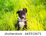 Stock photo playful puppy sitting on a green grass in a city park border collie puppy sitting on green grass 665513671