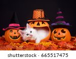 Stock photo fluffy white kitten peeking out of a pumpkin jack o lantern two smiling jack o lanterns wearing 665517475