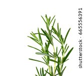 rosemary twig isolated on white ... | Shutterstock . vector #665556391