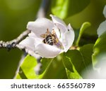 bee pollinating a quince tree... | Shutterstock . vector #665560789
