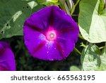 beautiful purple morning glory...   Shutterstock . vector #665563195